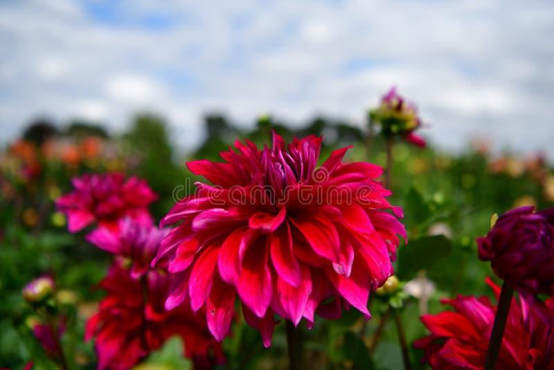 Blühende Blume der Dahlie, Farbfieber, Garten in Großbritannien stockfotos