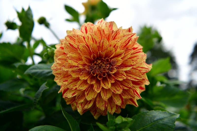 Blühende Blume der Dahlie, Farbfieber, Garten in Großbritannien stockbild