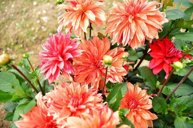 Blühende Blume der Dahlie, Farbfieber, Garten in Großbritannien lizenzfreies stockfoto