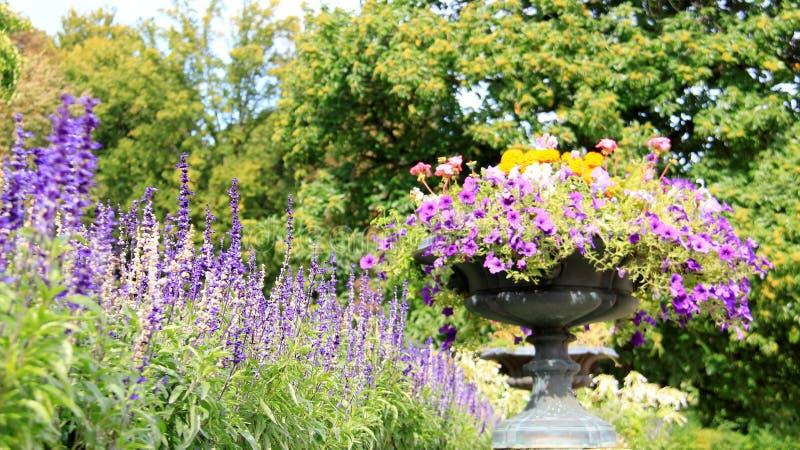 Blühende Blume und Petunie stockfotografie