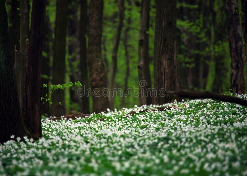 Blühende Blumen Des Weiß Im Grünen Wald Unter Bäumen Stockbild ...