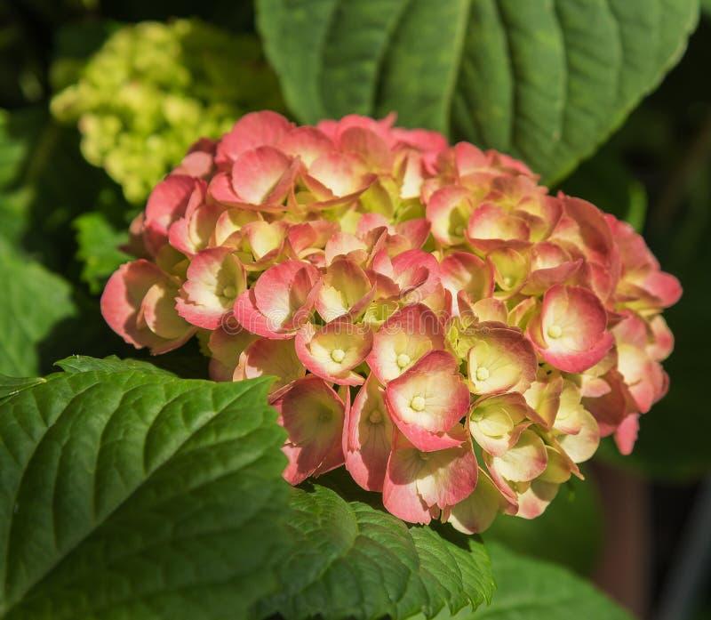 Blühende Blumen Hortensia Hydrangea Macrophylla Nahaufnahme lizenzfreies stockfoto