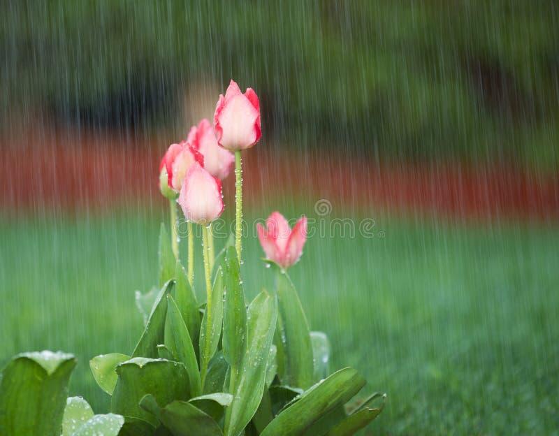 Blühende Blumen im Frühjahr-Regen stockbild
