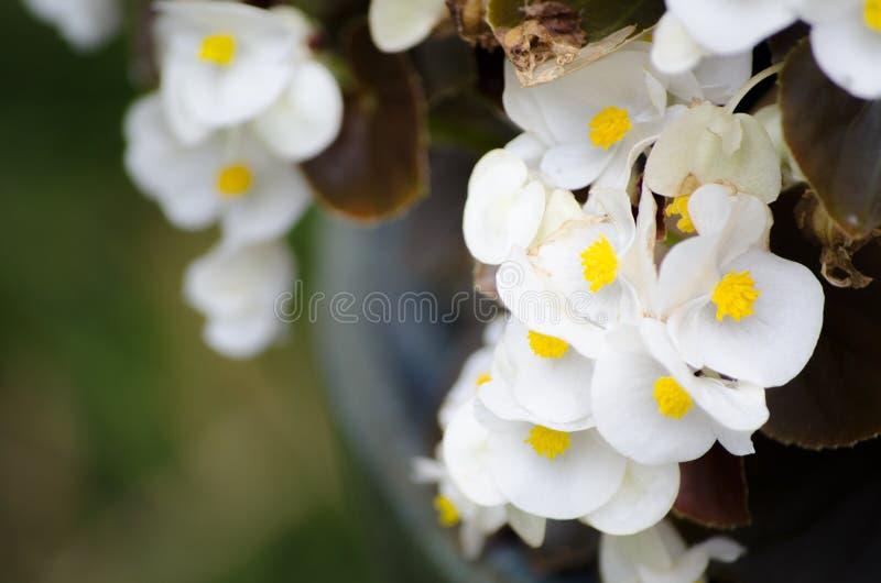 Blühende Blumen schöner weißer Semperflorens-Begonie in einer Frühlings-Saison an einem botanischen Garten stockbilder