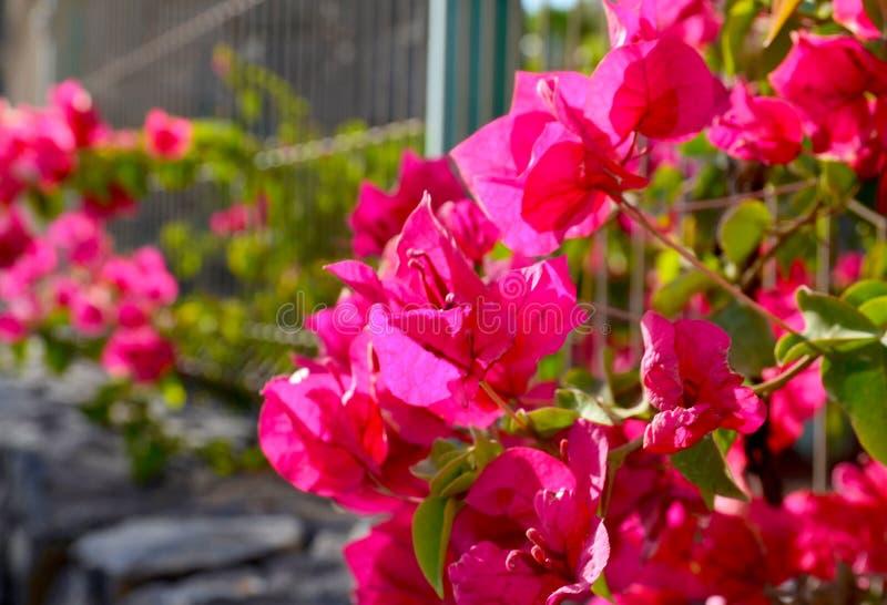Blühende Bouganvillaanlage mit schönen rosa Blumen im Park von Teneriffa, Kanarische Inseln, Spanien lizenzfreie stockbilder
