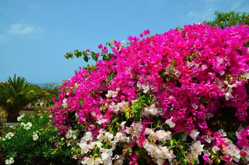 Blühende Bouganvillaanlagen mit schönen rosa und weißen Blumen im Park von Teneriffa, Kanarische Inseln, Spanien lizenzfreie stockfotos