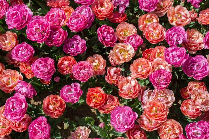 Blühende bunte Tulpenblumen als Blumenhintergrund lizenzfreies stockfoto