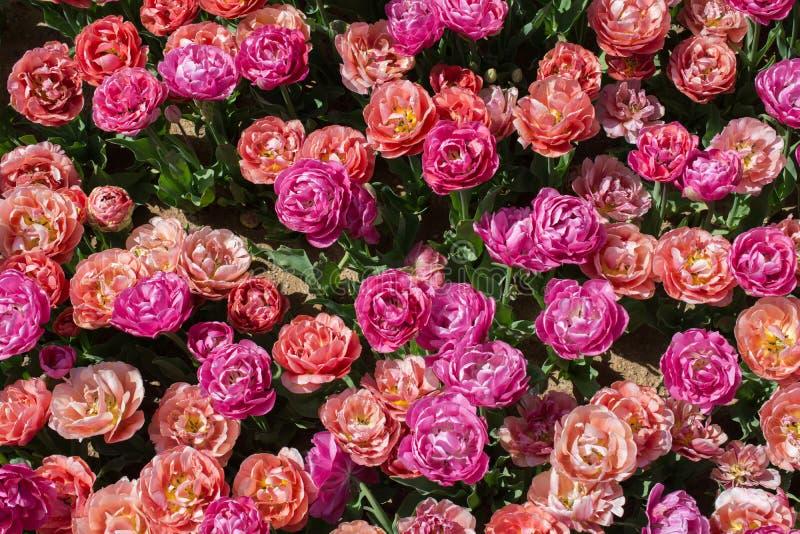 Blühende bunte Tulpenblumen als Blumenhintergrund lizenzfreies stockbild