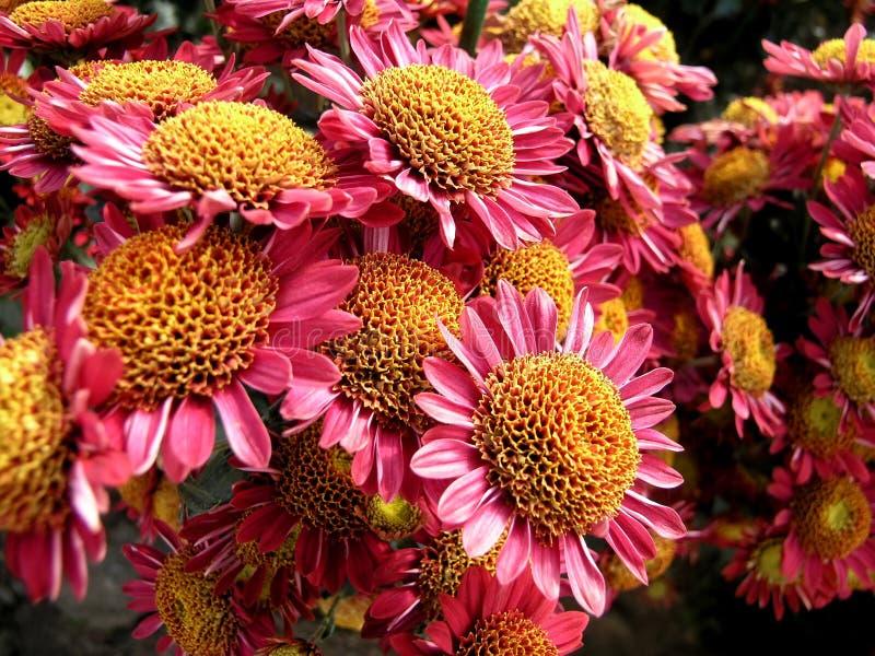 Blühende Chrysantheme stockbild