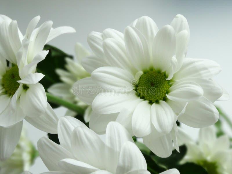 Blühende Chrysanthemen Des Weiß Stockbild - Bild von blüte, frühling ...