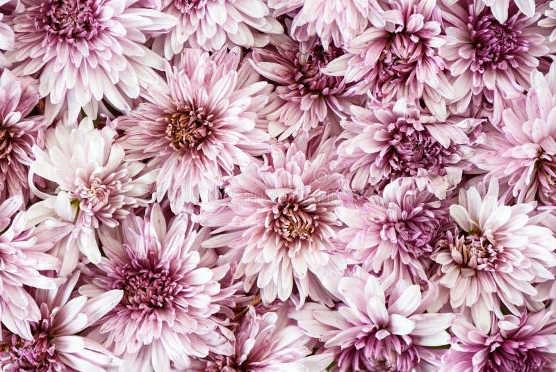 Blühende Chrysanthemen Herbst blüht Hintergrund Abschluss oben stockbilder