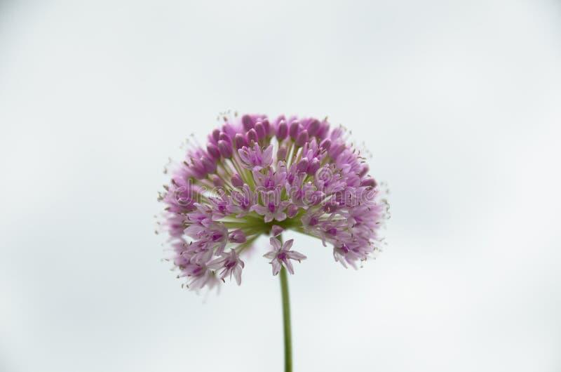 Blühende dekorative Knoblauchlauchgartenpflanze am Himmelhintergrund stockbilder