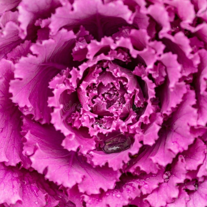 Blühende dekorative purpurrot-rosa Kohlanlage Dekorativer Wirsingkohl Natürlicher klarer Hintergrund Dekorative Kohlpflanzen Wint stockfotos