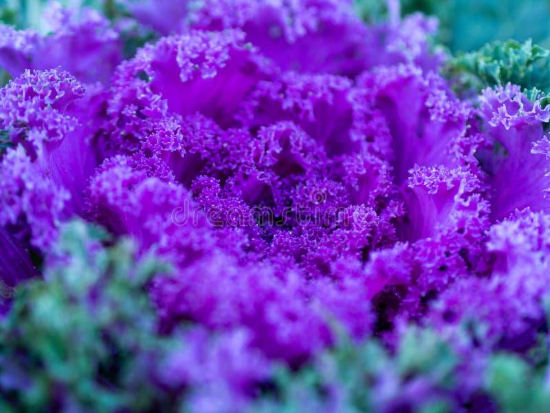 Blühende dekorative purpurrot-rosa Kohlanlage im Garten stockfoto