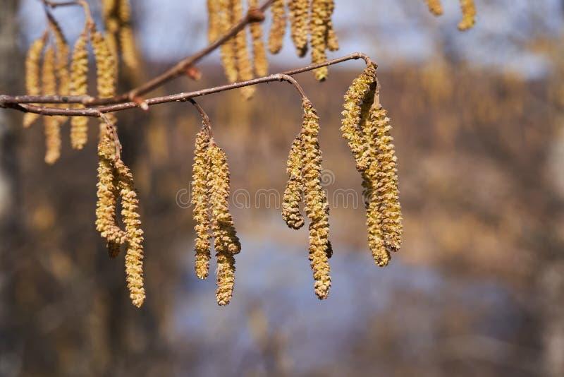 Blühende Erle im Frühjahr Ohrringe mit Samen lizenzfreie stockbilder
