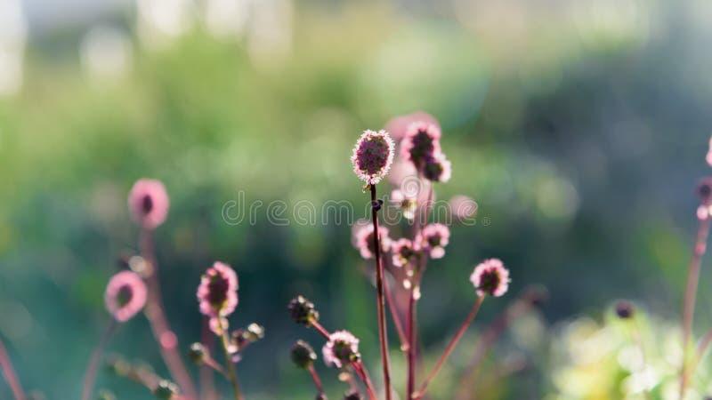 Blühende Feldanlage unter Strahlen des Sommersonnenuntergangs lizenzfreies stockbild