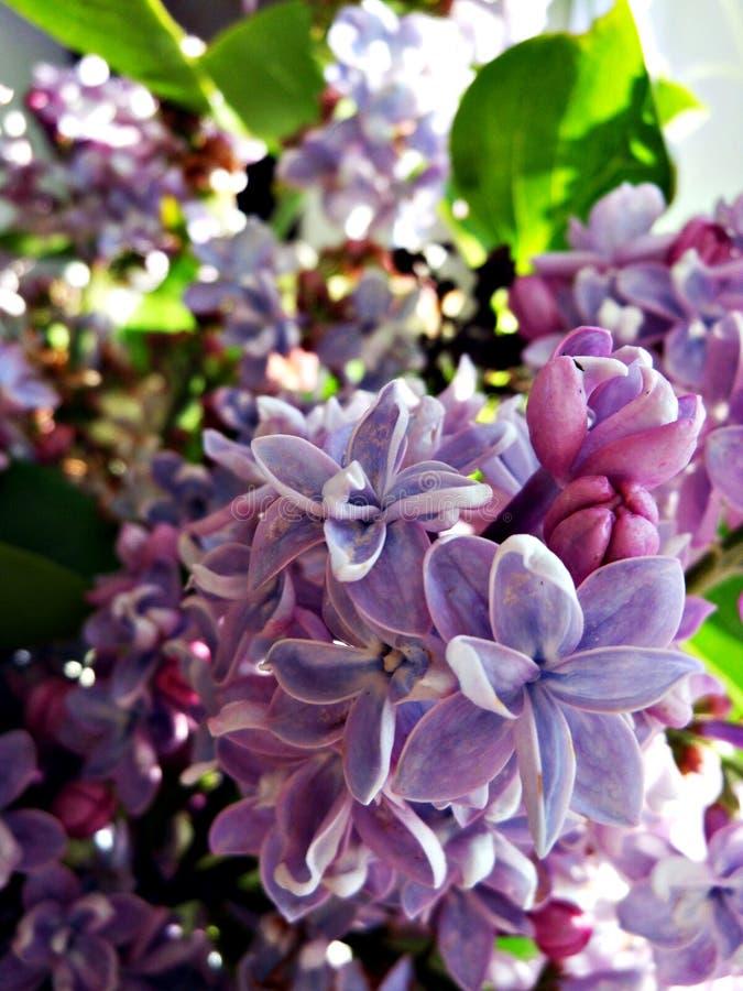 Blühende Flieder lizenzfreie stockfotografie