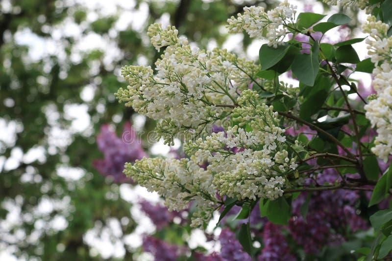 Blühende Flieder des Frühlinges mit weißen Blumen auf einem schönen Hintergrund der rosa Flieder, der grünen Blätter und des Himm lizenzfreie stockbilder