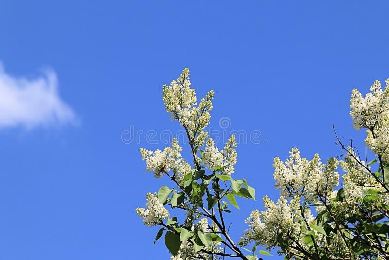 Blühende Flieder des weißen Frühlinges, die in Richtung zur Sonne und blauen zum Frühlingshimmel ausdehnt stockfoto