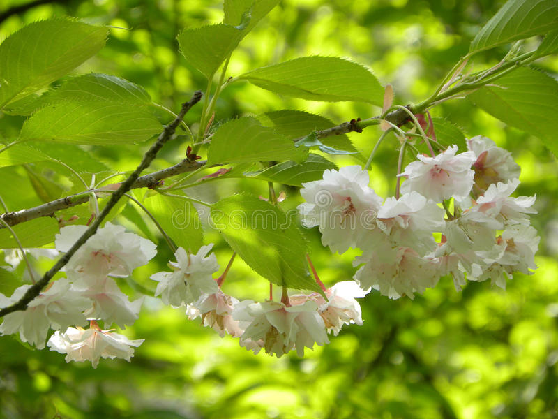 Blühende Frühlingsblumen des Weiß stockfotos