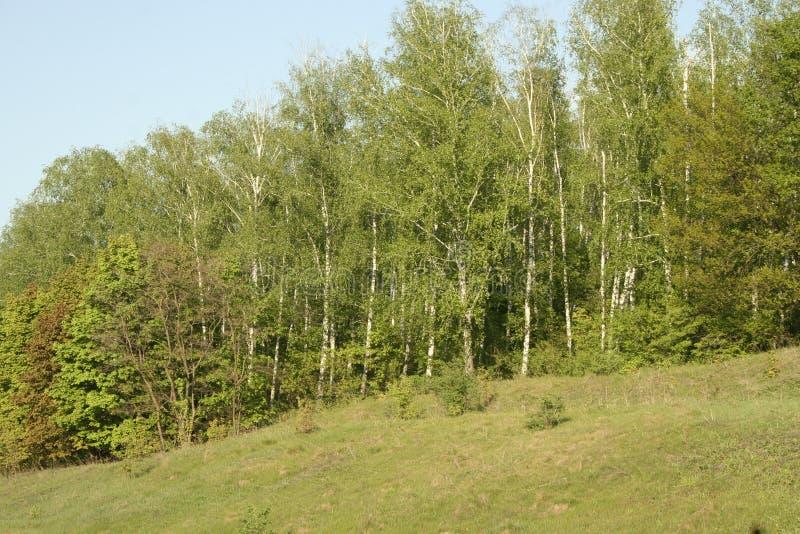 Blühende Frühlingswaldlichtung stockfoto