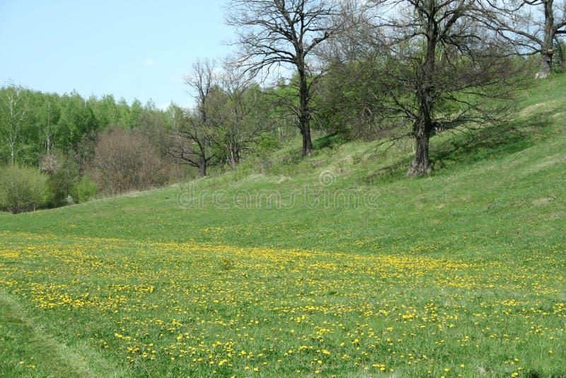 Blühende Frühlingswaldlichtung lizenzfreie stockfotografie