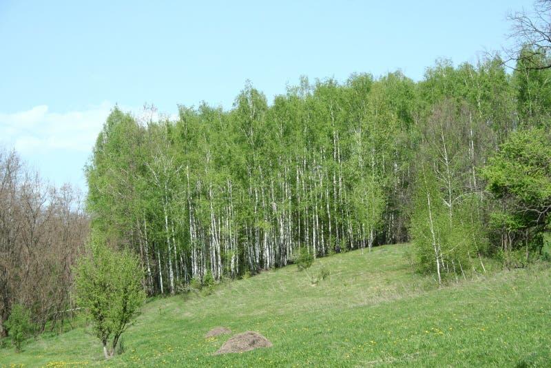 Blühende Frühlingswaldlichtung stockfotografie