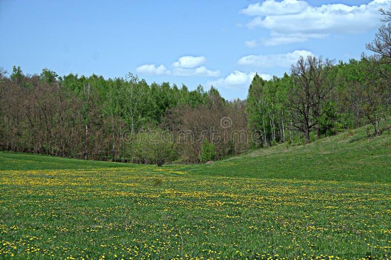 Blühende Frühlingswaldlichtung stockbilder
