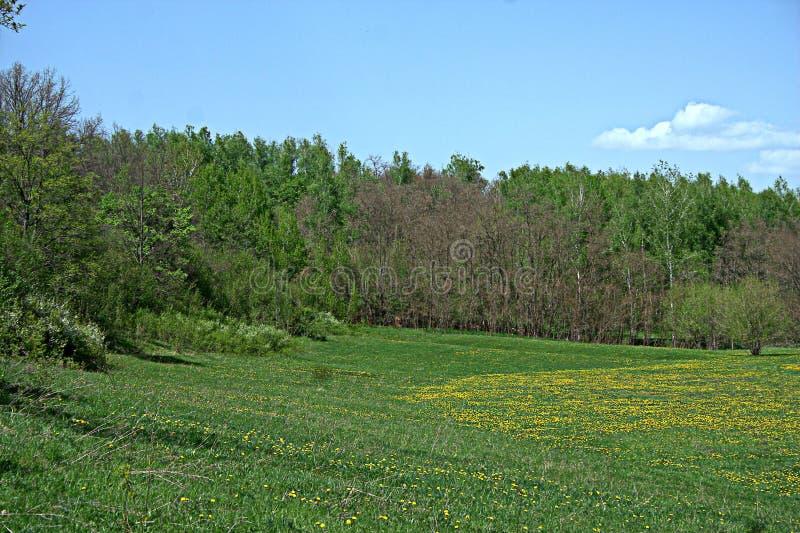 Blühende Frühlingswaldlichtung lizenzfreies stockfoto