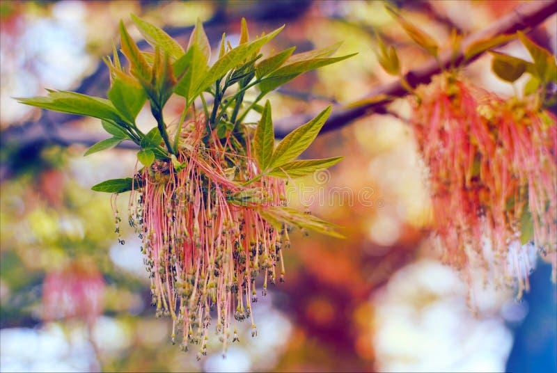 Blühende Fraxinushobelspäne im Frühjahr Blühende europäische Esche Ungewöhnliche Blumenniederlassung Schließen Sie herauf und Hin stockbilder