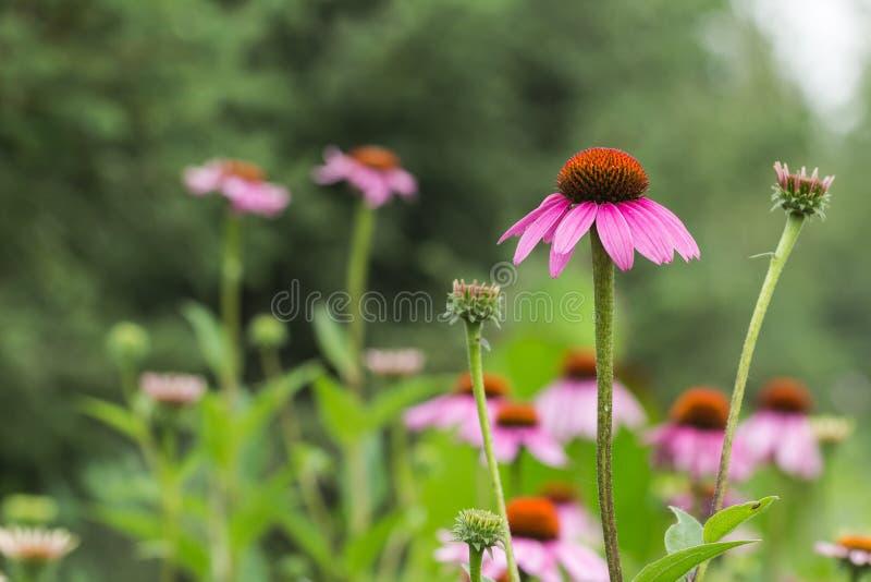 Blühende Gänseblümchen stockfotografie