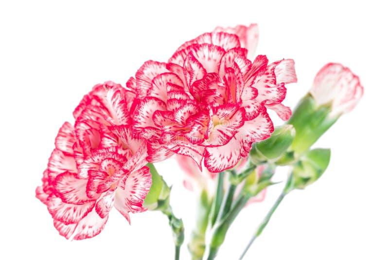Blühende Gartennelkenblume stockbild