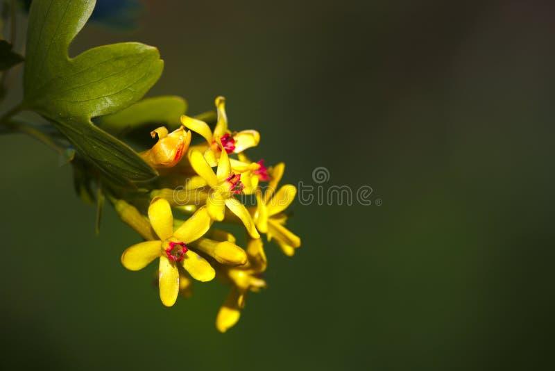 Blühende goldene Korinthe blühen auf grünem bacground im Frühjahr stockfotos