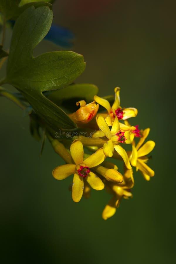 Blühende goldene Korinthenblume auf grünem bacground lizenzfreie stockbilder