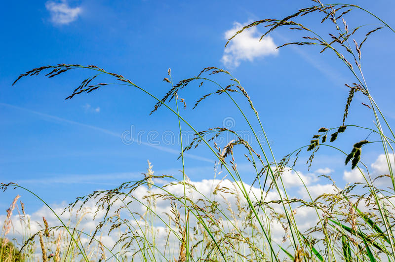Blühende Gräser vom Abschluss stockbild