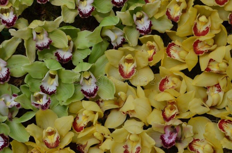 Blühende grüne Orchideen und gelbes Orchideen-Blühen stockfotografie