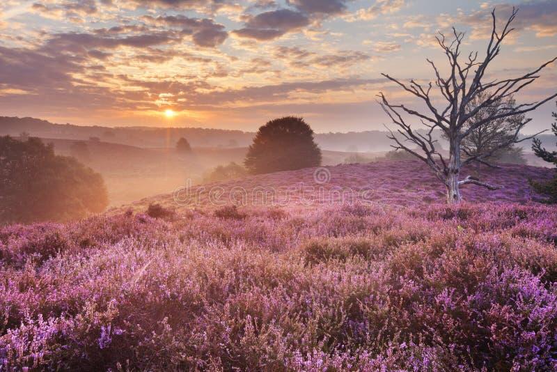 Blühende Heide bei Sonnenaufgang, Posbank, die Niederlande stockfotografie