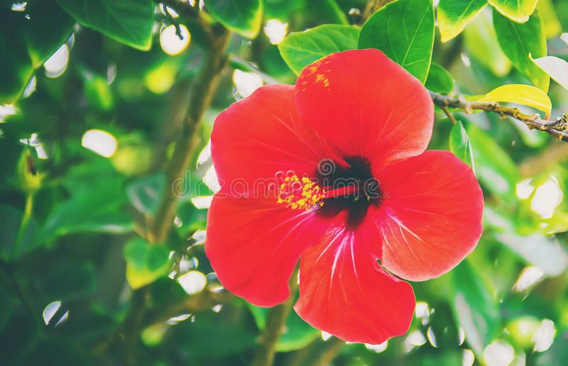 Blühende Hibiscuse Selektiver Fokus stockfotografie
