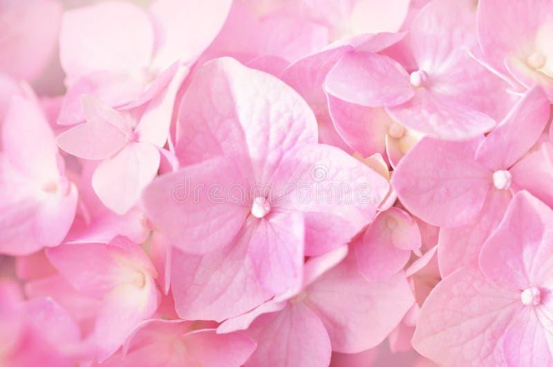 Blühende Hortensie des Sommers, Blume bokeh Hintergrund-, Pastell- und weicheblumenkarte stockbild