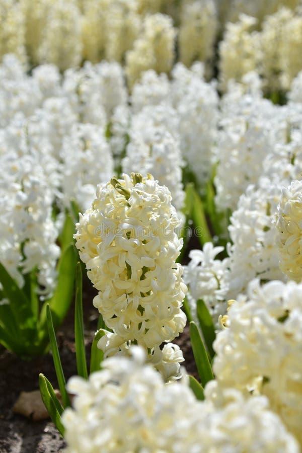 Blühende Hyazinthe lizenzfreie stockbilder