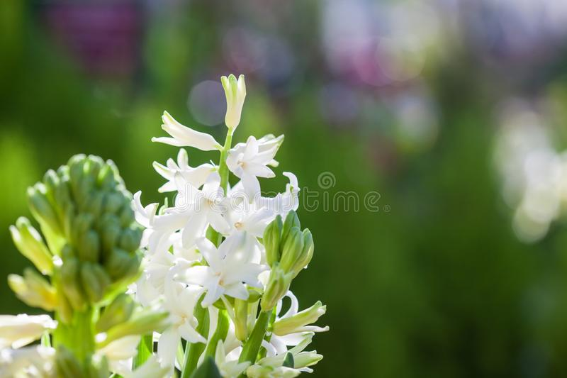 Blühende Hyazinthe des schönen weißen wohlriechenden Frühlinges mit buntem grünem Hintergrund stockfotos