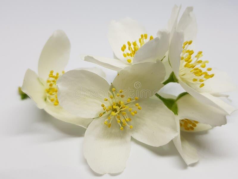 Blühende Jasminblume der weißen Farbe auf einem hellen Hintergrund stockfotos