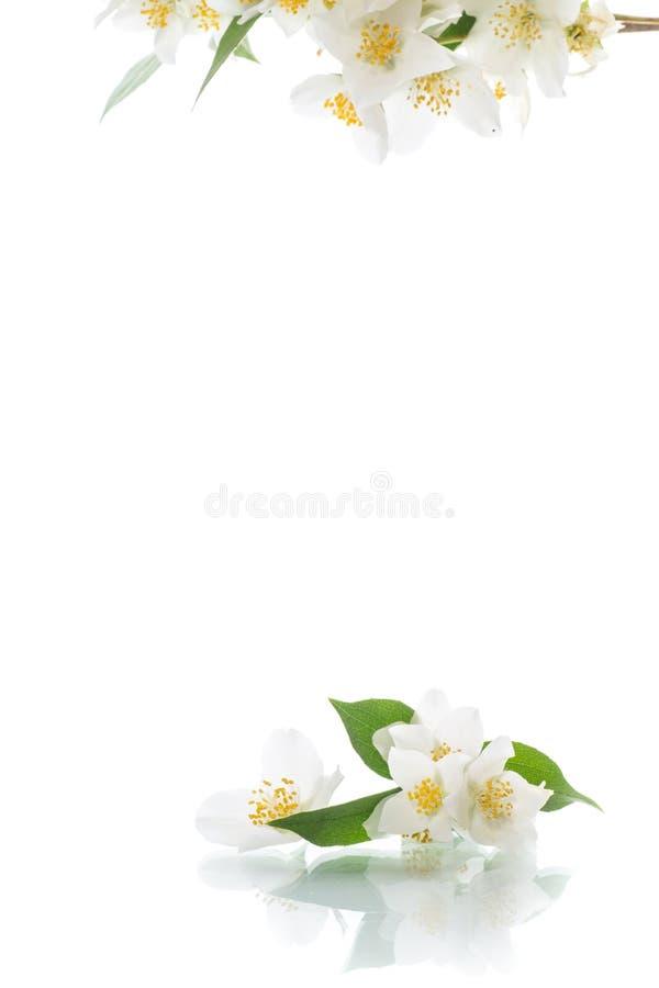 Blühende Jasminblumen auf einem weißen Hintergrund stockfotos