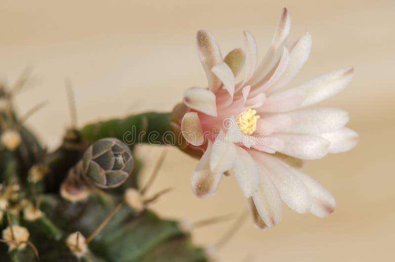 Blühende Kaktusblume stockbilder
