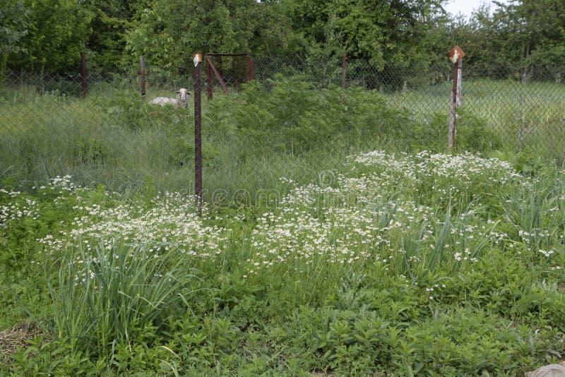 Blühende Kamille im Garten Medizinische Kamille lizenzfreie stockfotos