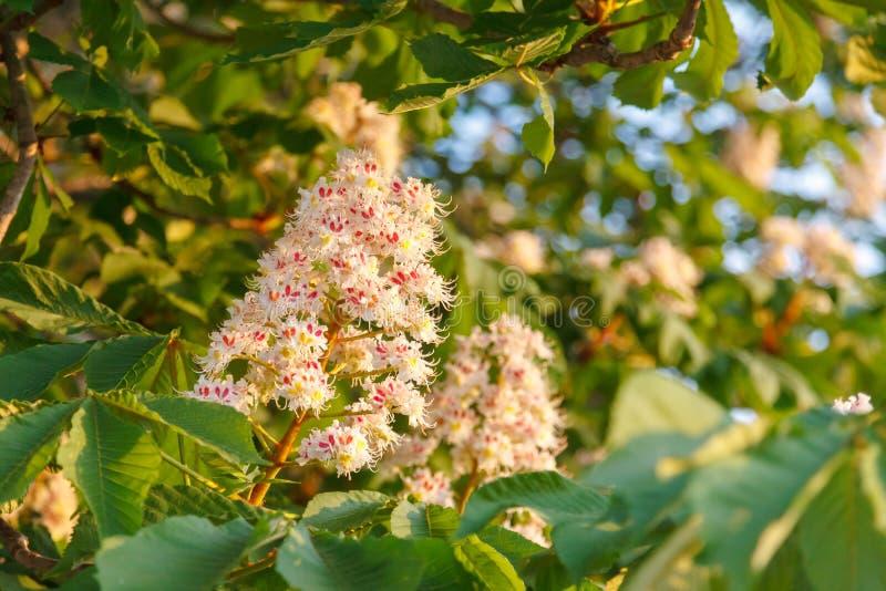 Blühende Kastanie in der Glättungssonne Der Blütenstand einer blühenden Kastaniennahaufnahme auf unscharfem Hintergrund lizenzfreie stockbilder
