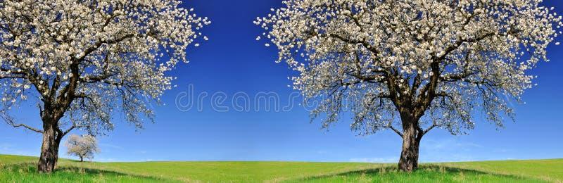 Blühende Kirschbäume auf Wiese stockbild