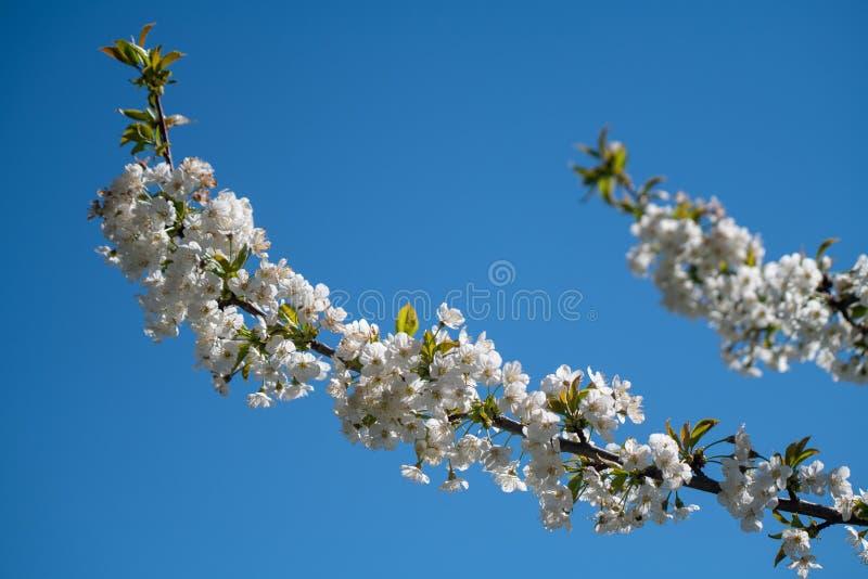 Blühende Kirschbaumniederlassung, weiße Blumen, blauer Himmel im Hintergrund stockbild