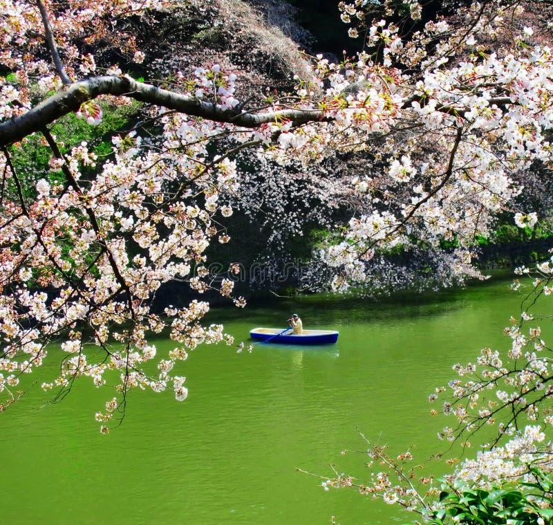 Blühende Kirschblüte stockfotos
