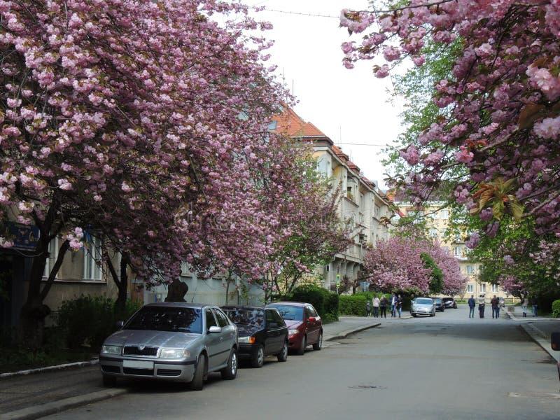 Blühende Kirschblüte-Bäume in Uzhgorod stockfotografie